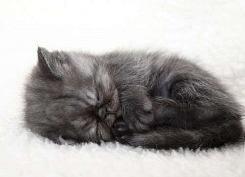 gray-kitten-very-cute-cat