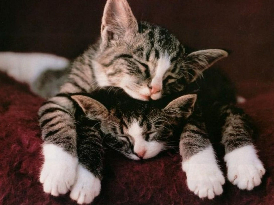 sleep-well-hd-cat-wallpapers-kittens-widescreen-pussycats-high-resolution-pet-photos-baby-amazing-cats-cat-desktop-images-windows-wallpapers-of-cats-1504x1128
