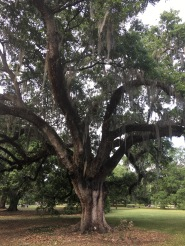 The trees at Audubon Park.